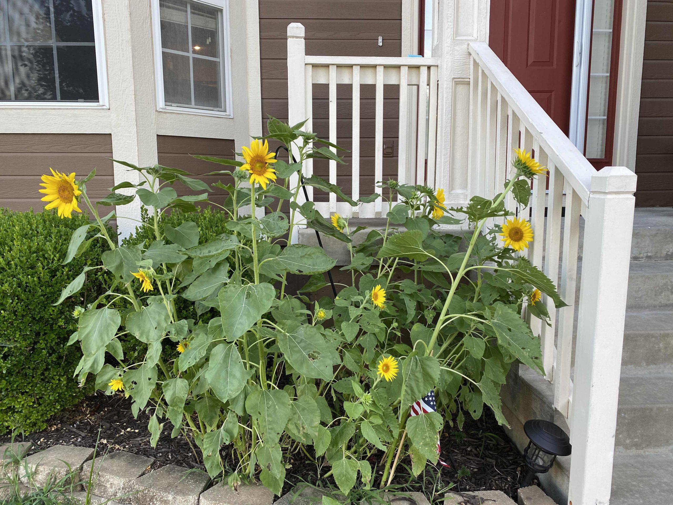 Birdseed Sunflowers Summer 2020
