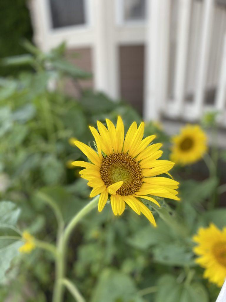 Accidental Sunflower
