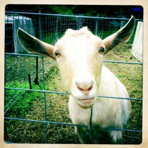 Goat at Beltane Farm